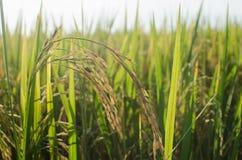 Risfält är mogna i solskenet Royaltyfri Bild