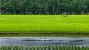 Risfält Arkivfoto