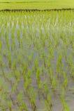 Risfält Arkivfoton