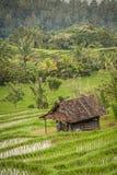Risfält av Bali, Indonesien arkivbilder