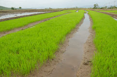Risfält av Thailand Arkivbild