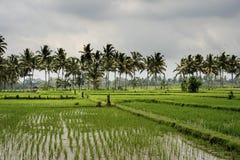 Risfält Bali Arkivfoto