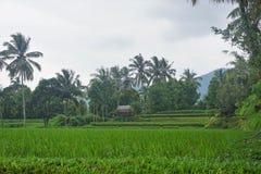 Risfält Bali med moln och palmträd Arkivfoton