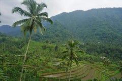 Risfält Bali med moln och palmträd Arkivfoto