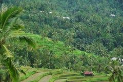 Risfält Bali med moln och palmträd Royaltyfria Bilder