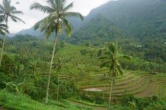 Risfält Bali med moln och palmträd Royaltyfri Fotografi
