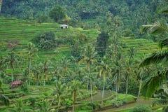 Risfält Bali med moln och palmträd Royaltyfri Foto