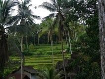 Risfält Bali med moln och palmträd Royaltyfria Foton