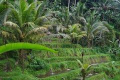 Risfält Bali med moln och palmträd Arkivbild