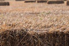 Risfält efter skörd med rissugrörbaler royaltyfri foto