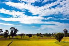 Risfält för blå himmel och guling arkivbilder