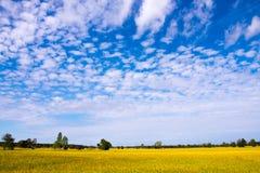 Risfält för blå himmel och guling fotografering för bildbyråer