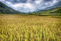 Risfält från den Sapa dalen Arkivbild