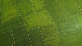 Risfält från det ovannämnda flygasurret Flyg- koloni för skottgräsplanris i by jordbruks- industri Bruka och stock video