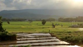 Risfält i aftonsolen Arkivfoto