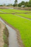 Risfält i Asien Arkivbilder