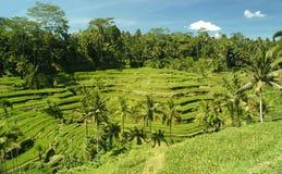 Risfält i Asien Arkivbild