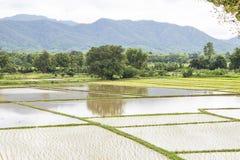 Risfält i början av att plantera för ris Lantlig risfält s Fotografering för Bildbyråer
