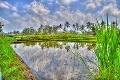 Risfält i Bali Arkivfoto