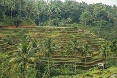 Risfält i Bali Arkivfoton