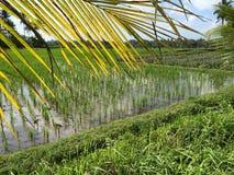 Risfält i centrala Bali, nära Ubud, Indonesien Royaltyfria Bilder