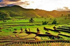 Risfält i Chiang Mai Royaltyfri Fotografi