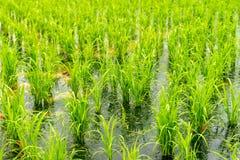 Risfält i det Taoyuan området, Taiwan April 2016 arkivfoton