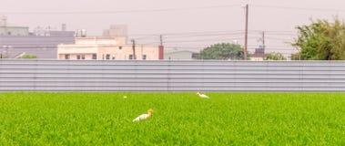 Risfält i det Taoyuan området, Taiwan April 2016 royaltyfri foto