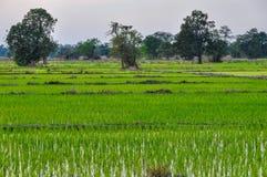 Risfält i Don Kong, 4000 öar, Laos Royaltyfri Fotografi