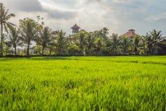 Risfält i hjärtan av den Ubud byn på bakgrunden av houen royaltyfri bild