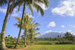 Risfält i Indonesien Arkivbilder