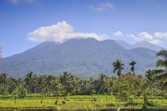 Risfält i Indonesien Arkivfoton