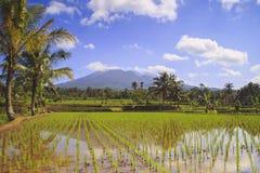 Risfält i Indonesien Arkivbild