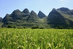 Risfält i Kina arkivbilder