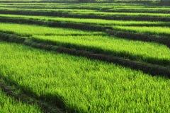 Risfält i morgonen arkivfoto
