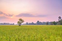 Risfält i morgonen Fotografering för Bildbyråer