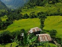 Risfält i Nepal Arkivbild