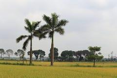 Risfält i skördsäsongen royaltyfri foto