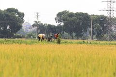 Risfält i skördsäsongen royaltyfria foton