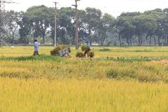 Risfält i skördsäsongen fotografering för bildbyråer