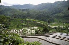 Risfält i sumatra Arkivfoto