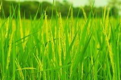 Risfält i Thailand Royaltyfria Bilder