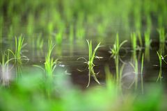 Risfält i vår i Japan royaltyfria foton
