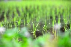 Risfält i vår i Japan royaltyfria bilder