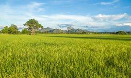 Risfält Kanchanaburi, Thailand royaltyfria foton