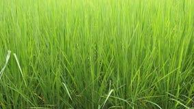 Risfält med bambukojan stock video