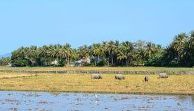 Risfält med bufflar i den Mekong deltan, Vietnam Arkivbild