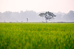 Risfält med fågelskrämman Royaltyfri Foto
