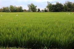 Risfält med fågelskrämmor royaltyfri foto