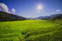 Risfält med solen Arkivbilder